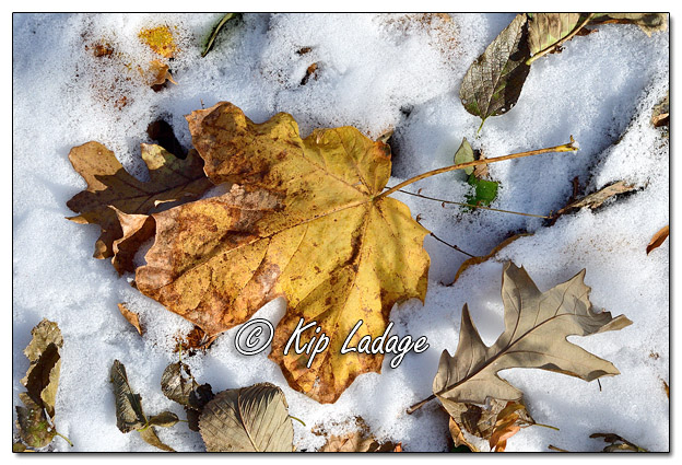 Autumn Leaf in Snow - Image 596881 (© Kip Ladage)