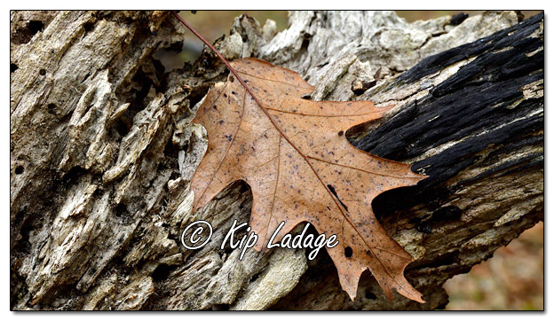 Autumn Leaf on Log - Image 597127 (© Kip Ladage)