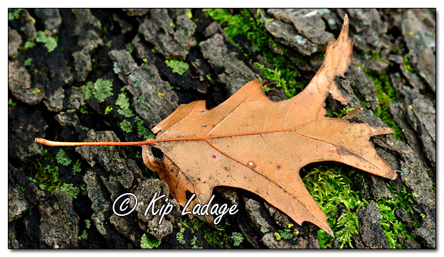 Autumn Leaf on Log - Image 597133 (© Kip Ladage)