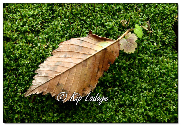 Autumn Leaf on Mossy Log - Image 597148 (© Kip Ladage)