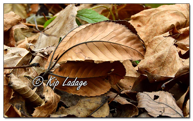 Autumn Leaves on Forest Floor - Image 597166 (© Kip Ladage)