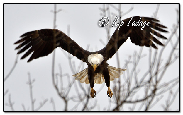 Bald Eagle Taking Flight - Image 599936 (© Kip Ladage)