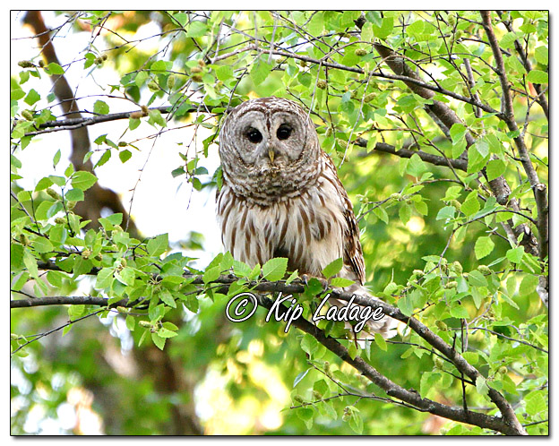 Barred Owl Along Wapsipinicon River - Image 572253 (© Kip Ladage)