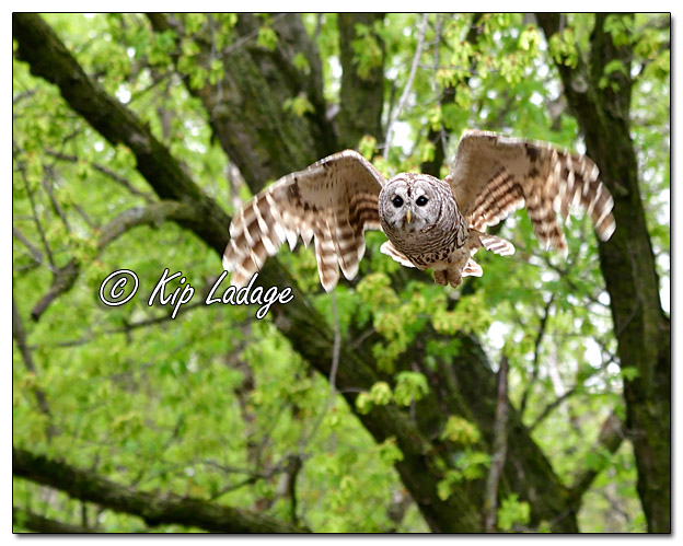 Barred Owl in Flight - Image 568347 (© Kip Ladage)