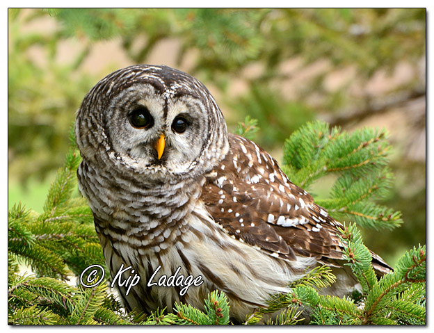 Barred Owl in Conifer - Image 556338 (© Kip Ladage)