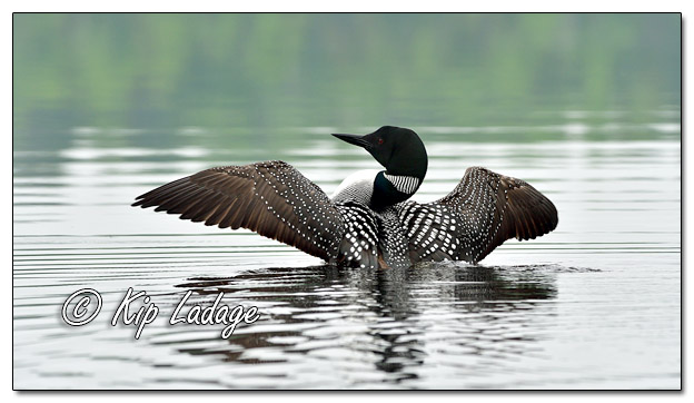 Common Loon Spreading Wings on Fourtown Lake - Image 574637 (© Kip Ladage)