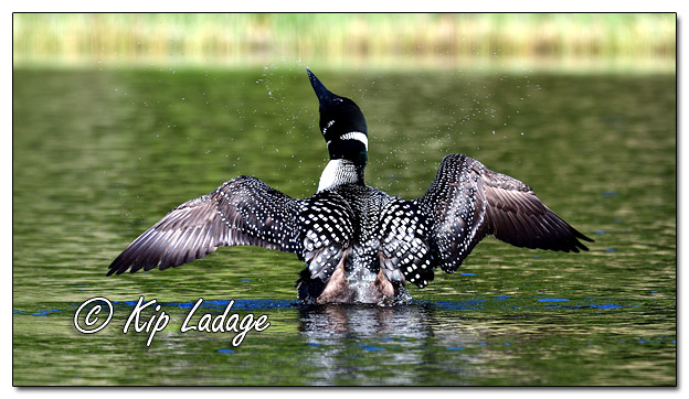 Common Loon Spreading Wings on Fourtown Lake - Image 575065 (© Kip Ladage)
