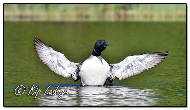 Common Loon Spreading Wings on Fourtown Lake - Image 575073 (© Kip Ladage)