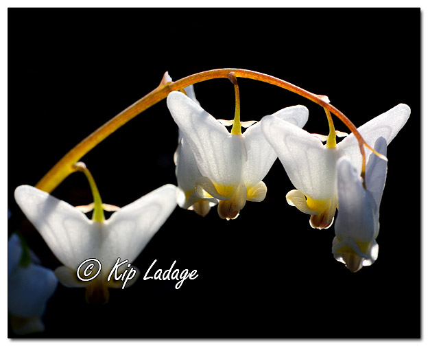 Wildflowers as Art - Dutchman's Breeches - Image 314098 (© Kip Ladage)