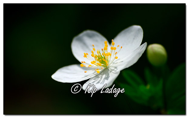 Wildflowers as Art - False Rue Anemone - Image 502946 (© Kip Ladage)