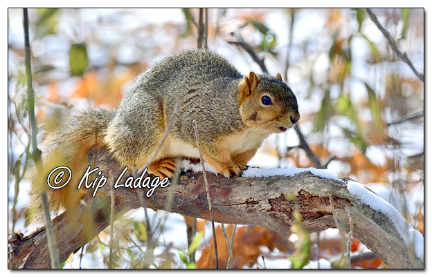 Fox Squirrel in Snow - Image 596927 (© Kip Ladage)