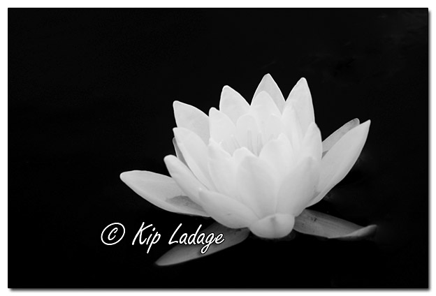 Fragrant Water Lily (BW) - Image 393895 (© Kip Ladage)