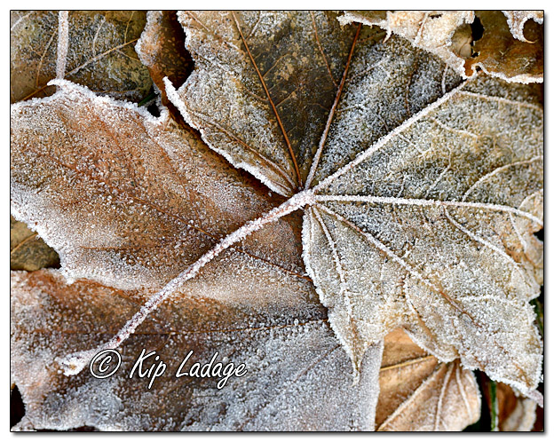 Frost on Leaves- Image 599404 - (© Kip Ladage)