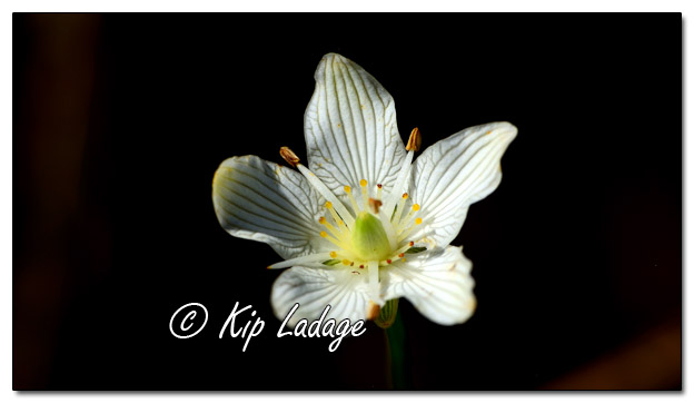 Wildflowers as Art - Grass of Parnassus - Image 523067 (© Kip Ladage)