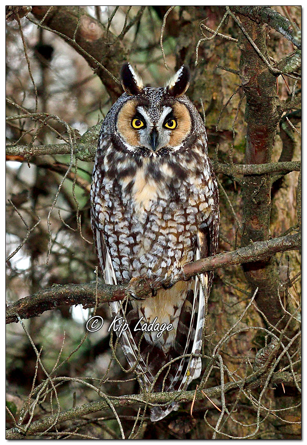 Long-eared Owl in Conifer - Image 598680 (© Kip Ladage)