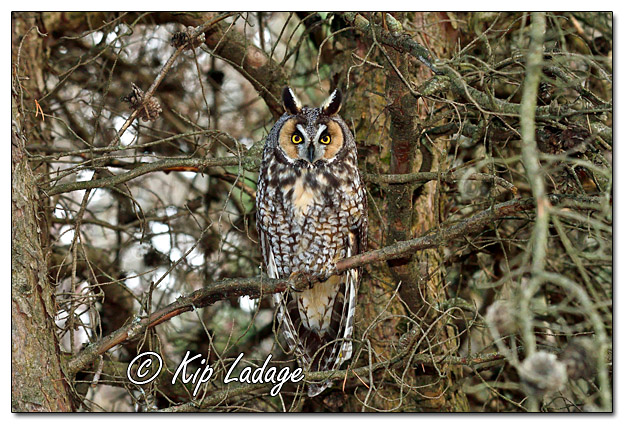 Long-eared Owl in Conifer - Image 598690H (© Kip Ladage)