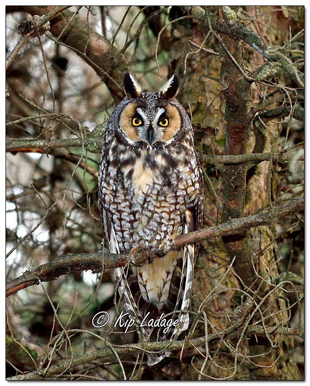 Long-eared Owl in Conifer - Image 598690V (© Kip Ladage)
