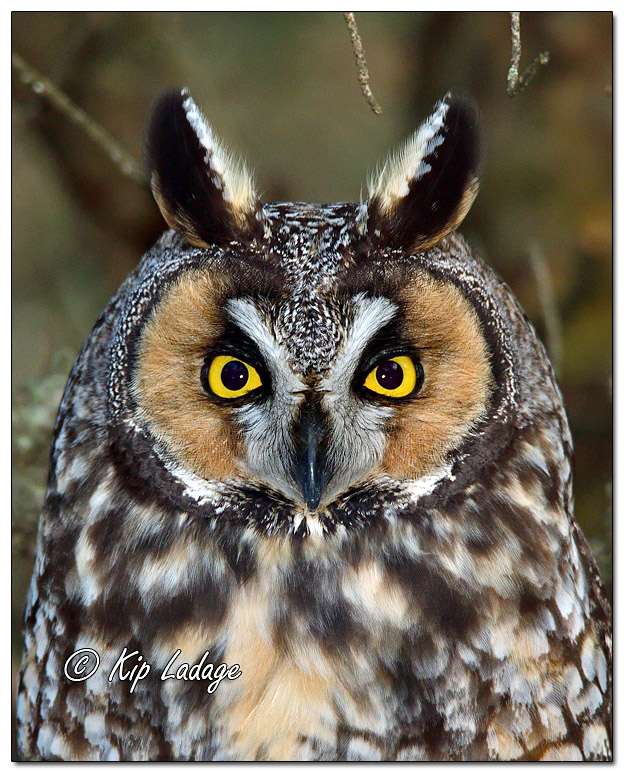Long-eared Owl in Conifer - Image 598692V (© Kip Ladage)