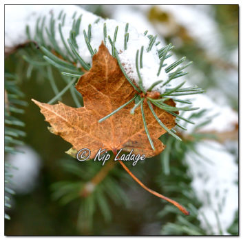 Maple Leaf in Conifer with Snow - Image 596844 (© Kip Ladage)