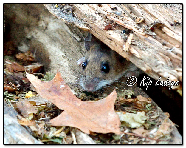 Mouse in Wood Pile - Image 599909 (© Kip Ladage)