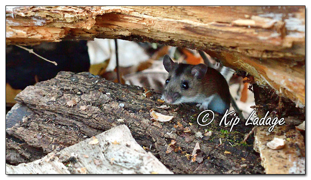 Mouse in Wood Pile - Image 599913 (© Kip Ladage)