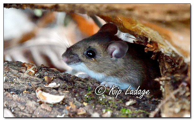 Mouse in Wood Pile - Image 599927 (© Kip Ladage)