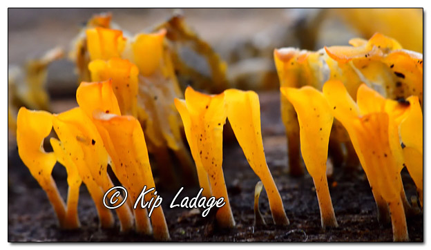 Orange Fungus on Log - Image 597245 (© Kip Ladage)
