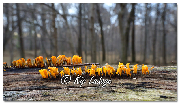 Orange Fungus on Log - Image 597397 (© Kip Ladage)
