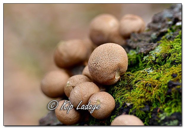 Puffball Fungus on Log - Image 597569 (© Kip Ladage)