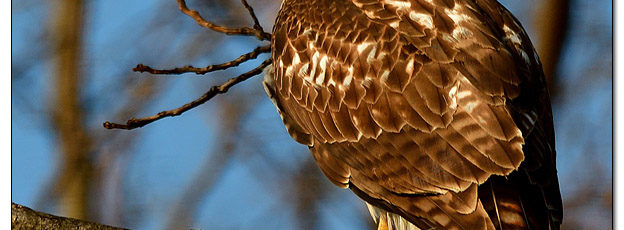 Red-tailed Hawk in Tree - Image 596214 (© Kip Ladage)