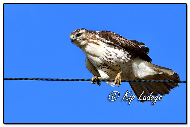 Red-tailed Hawk Balancing on Power Line - Image 596165 (© Kip Ladage)