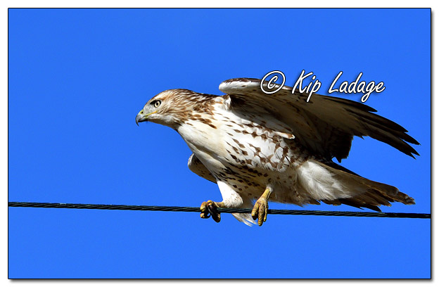 Red-tailed Hawk Balancing on Power Line - Image 596180 (© Kip Ladage)