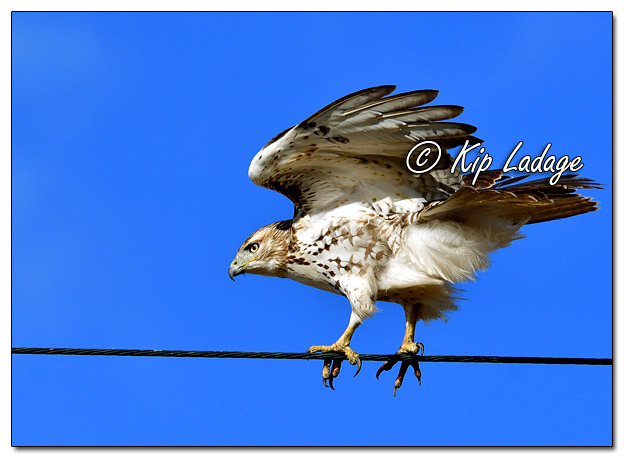 Red-tailed Hawk Balancing on Power Line - Image 596183 (© Kip Ladage)