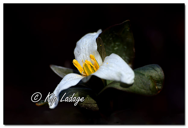 Wildflowers as Art - Snow Trillium - Image 554587 (© Kip Ladage)