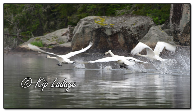 Trumpeter Swans Taking Flight - Image 574296 (© Kip Ladage)