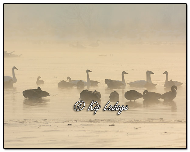Trumpeter Swans and Canada Geese in Fog - Image 359623 (© Kip Ladage)