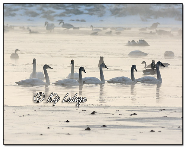 Trumpeter Swans and Canada Geese in Fog - Image 359697 (© Kip Ladage)