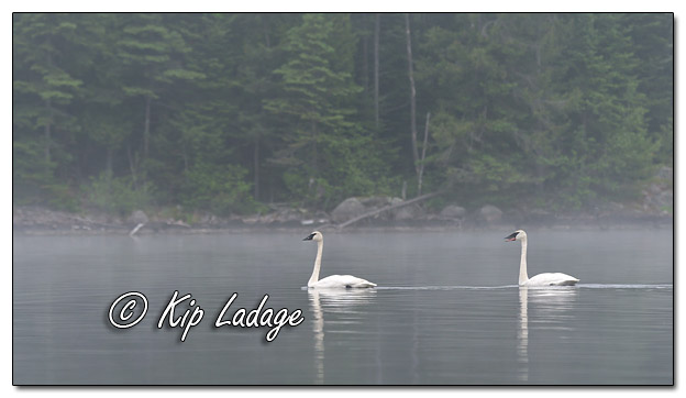 Trumpeter Swans at Fourtown Lake - Image 574253 (© Kip Ladage)
