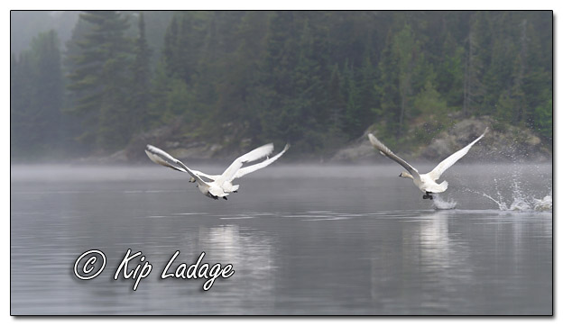 Trumpeter Swans at Fourtown Lake - Image 574305 (© Kip Ladage)