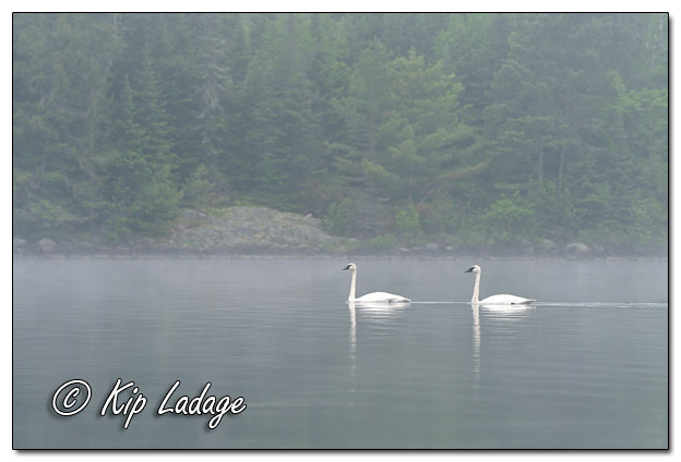 Trumpeter Swans at Fourtown Lake - Image 574251 (© Kip Ladage)