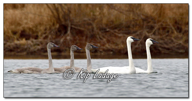 Trumpeter Swans at Plainfield Lake - Image 599868 (© Kip Ladage)