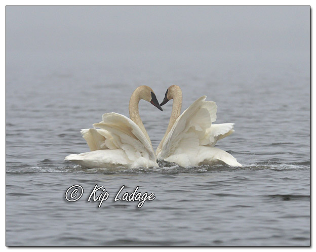Trumpeter Swans in Fog at Sweet Marsh - Image 555241 (© Kip Ladage)