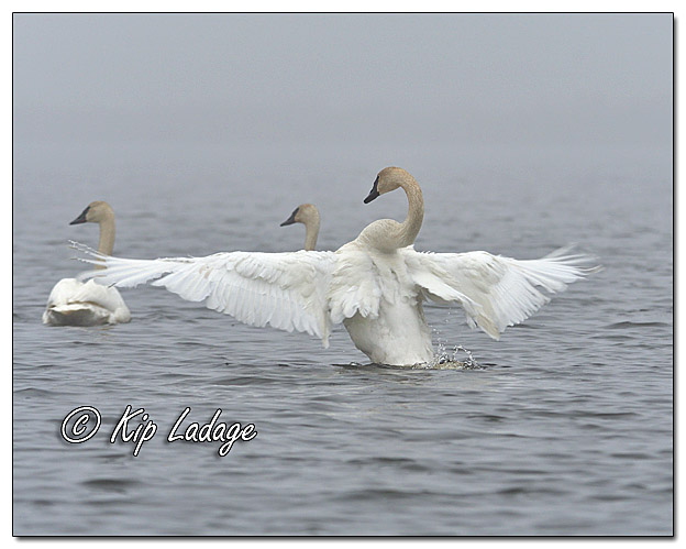 Trumpeter Swans in Fog at Sweet Marsh - Image 555252 (© Kip Ladage)