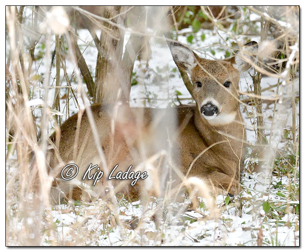 Whitetail Deer Bedded in Snowy Timber - Image 597854 (© Kip Ladage)