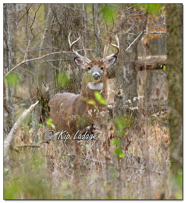 Whitetail Deer (Buck) - Image 596664 (© Kip Ladage)
