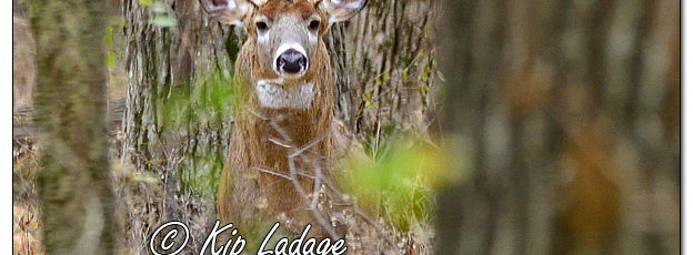 Whitetail Deer (Buck) - Image 596690 (© Kip Ladage)