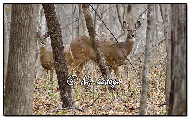 Whitetail Deer (Doe) - Image 597582 (© Kip Ladage)