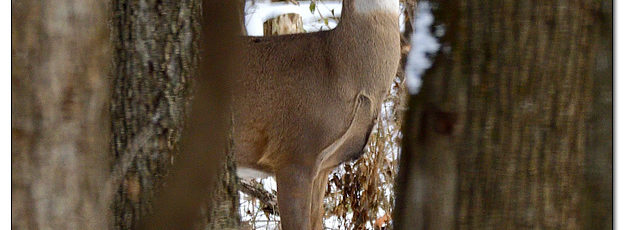 Whitetail Deer (Buck) in Snowy Timber - Image 597782 (© Kip Ladage)