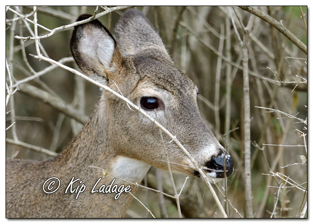 Whitetail Deer (Doe) in Timber - Image 598983 (© Kip Ladage)