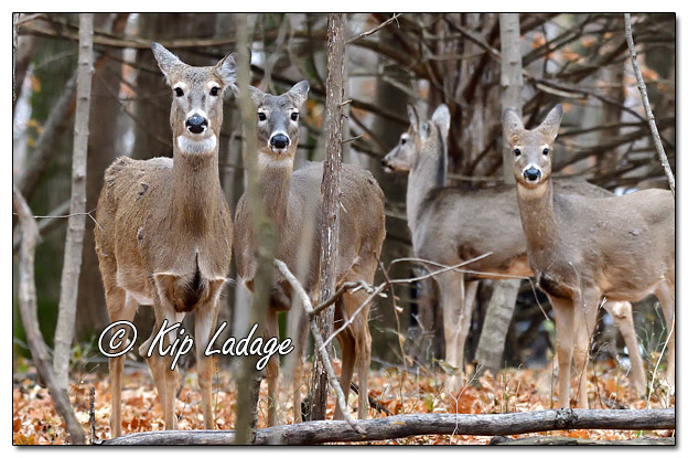 Whitetail Deer in Timber - Image 599100 (© Kip Ladage)